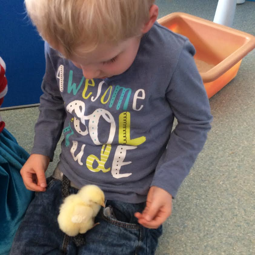 Chicks at our Beaconsfield nursery
